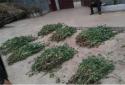 社旗警方查除一起非法种植罂粟案