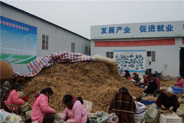 新野:施庵镇新型农业经营主体成为贫困户 增收脱贫的大舞台