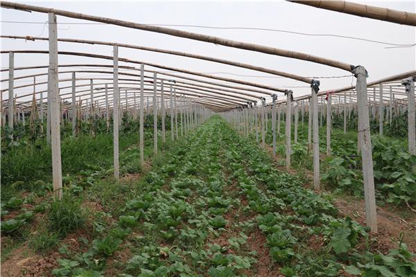 太康县:特色农业铺就脱贫大道