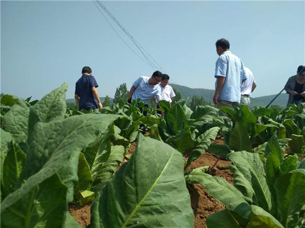 内乡县岞曲镇:多举措发展特色产业 撑起脱贫攻坚一片天