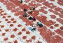 土耳其:晾晒西红柿