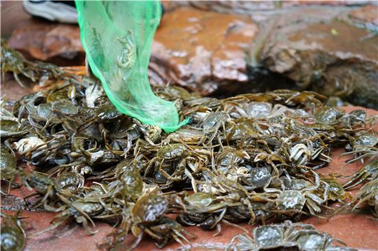 河南伏羲山景区投放万只螃蟹 供游客免费捕捉