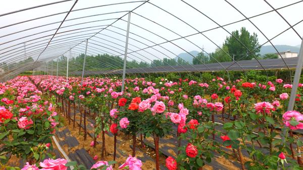 内乡县七里坪乡:政府搭桥 银企合作 助力花卉产业发展