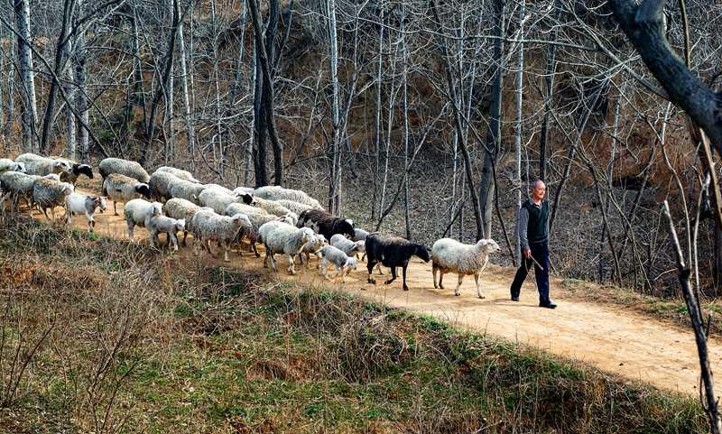 """郏县白庙乡""""羊倌""""洪军强:阔步走在脱贫路上"""