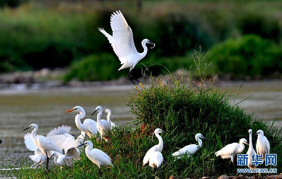 汝阳:生态湿地,白鹭轻舞