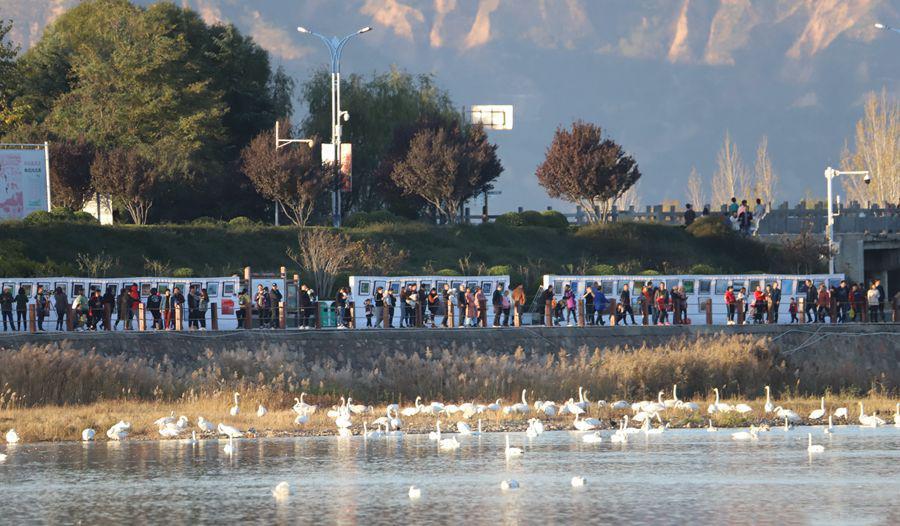 """三门峡:""""水上精灵""""白天鹅进入观赏季"""