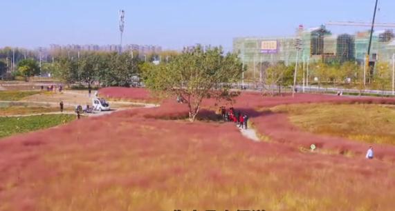 航拍:郑州北龙湖网红草盛开,成市民拍照打卡地