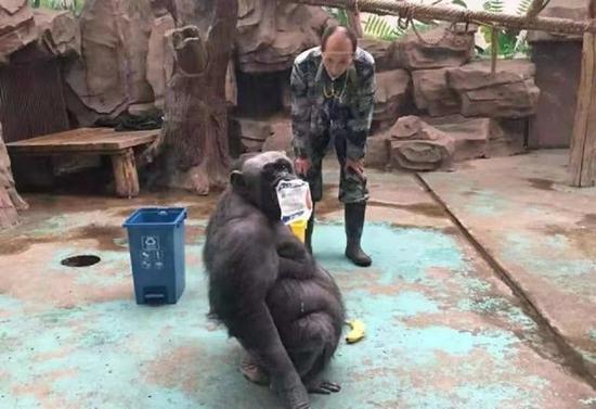 """堪称动物界""""环保代言人""""!郑州动物园猩猩""""菲莉""""学会垃圾分类"""