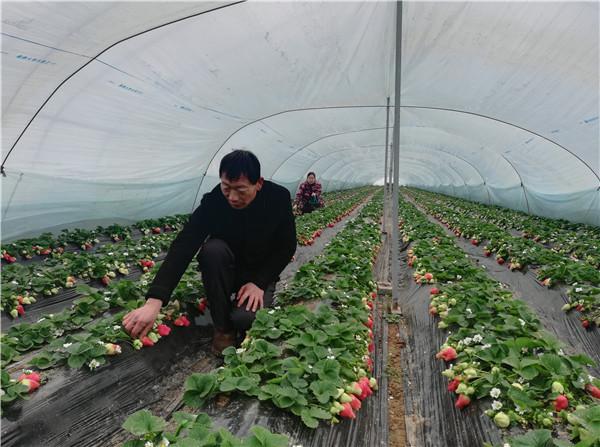 【新春走基层】火红的草莓 红火的日子