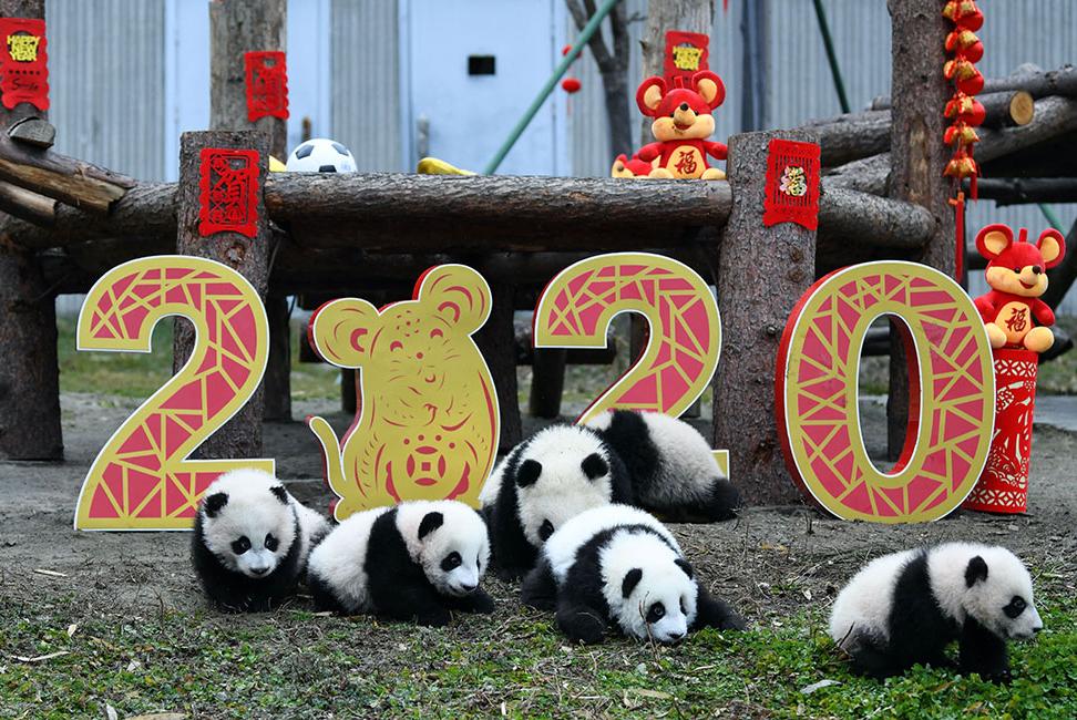 大熊猫宝宝贺新春