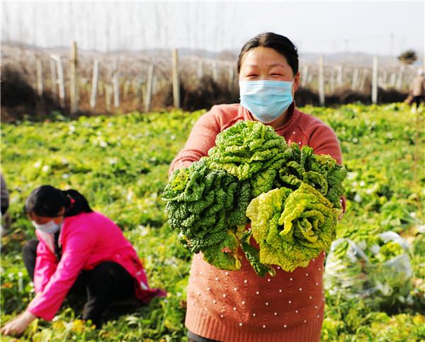 河南内乡:3万斤蔬菜的爱心接力