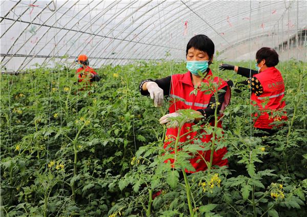 河南内乡:防疫农时两不误 温室棚里春意浓