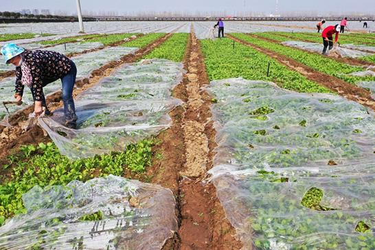 河南许昌设施农业正忙春