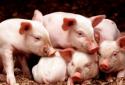 """两部门:16条""""硬招""""支持民营企业发展生猪生产 提高不良贷款容忍度"""