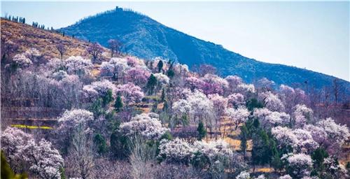 新密伏羲山旅游区3月21日将正式开园 万株杏花已迎春开放
