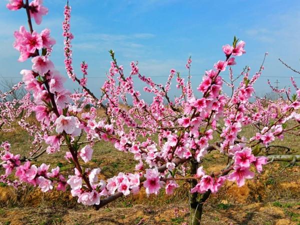 陇上春来 千亩桃花幸福开