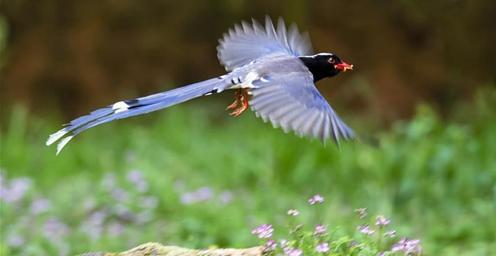 红嘴蓝鹊:花海嬉戏