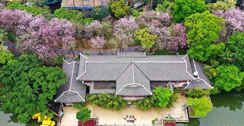 广西柳州:洋紫荆盛开 城市变粉色花海