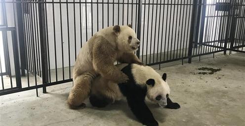 """关注:全球唯一圈养棕色大熊猫""""七仔""""首次成功自然交配"""