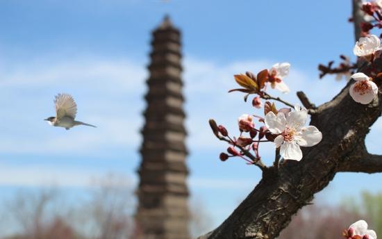 2020中国(开封)清明文化节:铁塔景区五大系列文化活动等你来