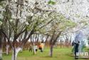 春日樱花次第开 大批市民走到户外赏樱 享受美好春光