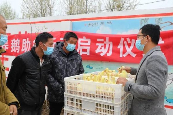 邓州市小杨营镇贫困群众喜领鹅苗