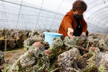 河南宝丰:种植食用菌 助农民增收致富