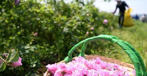 安徽:300多亩玫瑰花竞相绽放 助力脱贫攻坚