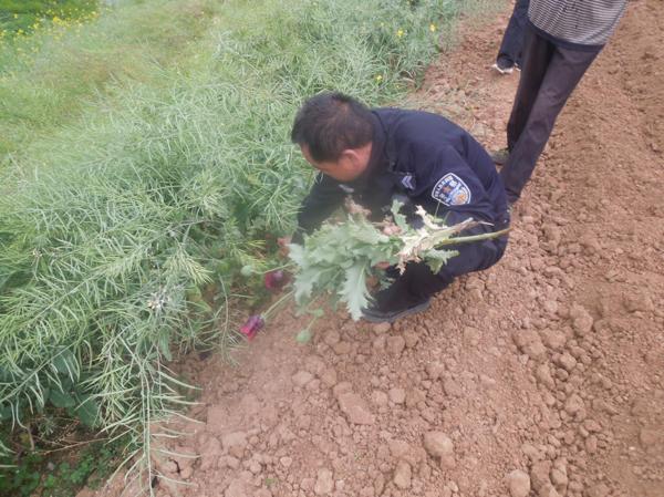 新野公安:强化辖区场所行业检查 查获非法种植罂粟案