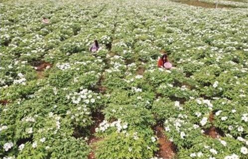 洛阳伊川县刘庄村:牡丹种植助农增收