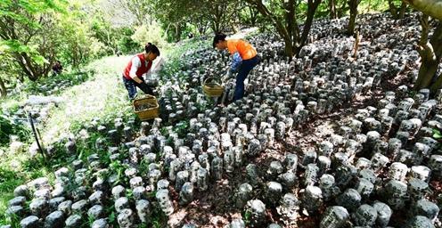 贵州剑河:林下培育木耳 助力农民增收
