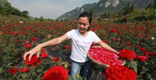 """贵州毕节:""""鲜花经济""""带动农民增收致富"""