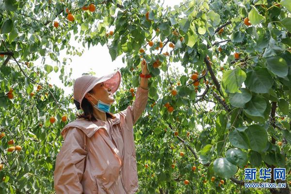 宝丰:红杏香甜引客来