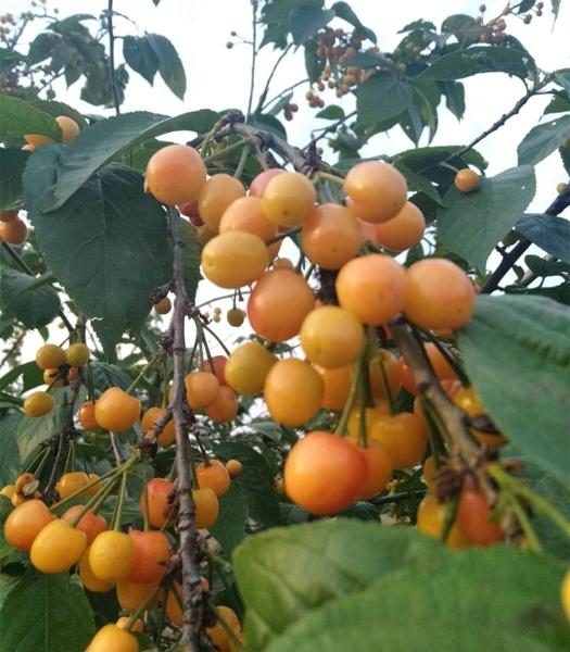 """唐河县昝岗乡:贫困户树上的红樱桃变成了""""金疙瘩"""""""