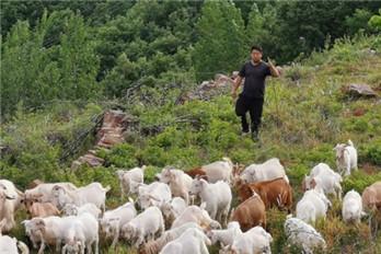 """鲁山县赵村镇:90后孝心小伙当""""羊倌""""带领乡亲摆脱贫困面貌"""