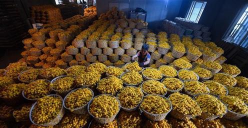 """蚕桑之乡""""黄金茧""""大丰收 产量预计75吨"""