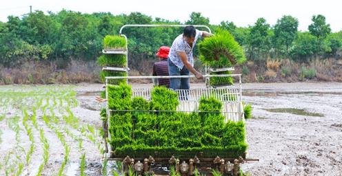 河南光山:80余万亩水稻进入高潮移栽期