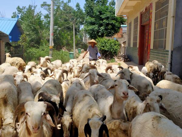 """新野县上庄乡李秀成:""""羊倌""""的致富路"""