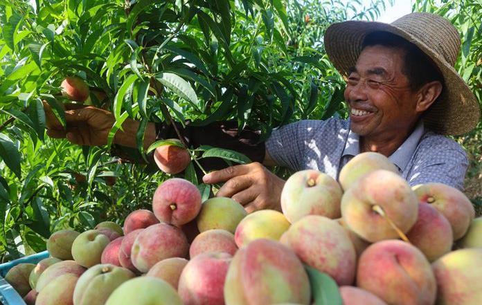 光山:仙桃种植 带动1600户贫困群众脱贫致富