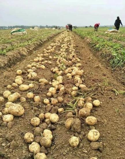 这里的土豆做薯片,饱韩国、美国、菲律宾人的口福