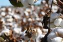 """新疆将打造棉花等""""四个百万亩""""制种基地"""