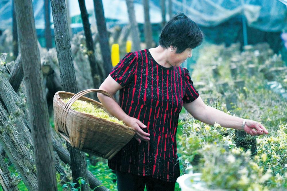 """信阳新县:小""""仙草""""成为脱贫大产业"""