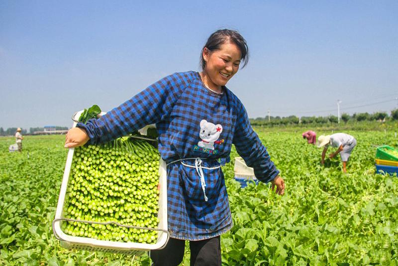 河南南阳:发展特色农业 扶贫蔬菜采摘忙