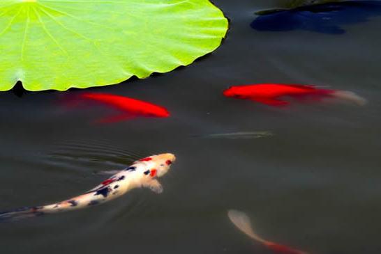 许昌西湖公园:锦鲤戏荷