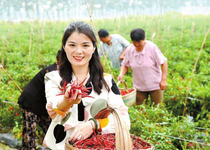 驻马店新蔡县:辣椒种植带动村民增收脱贫