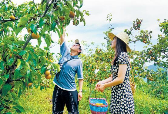 信阳新县陡山河乡国黄梨种植带动农民增收脱贫