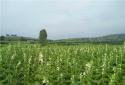 内乡县岞曲镇科学种烟 促进烟叶生产提质增效