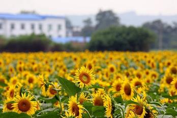 洛阳:向阳花进入盛花期