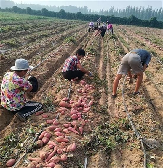 开封祥符区范村乡:沙窝红薯喜获丰收