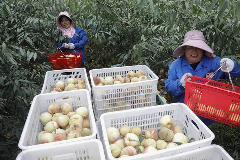 河南宝丰:发展林果经济 助力乡村振兴